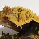 crested gecko - crowned trait