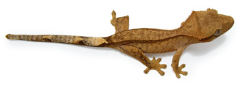 crested gecko - reverse pin morph