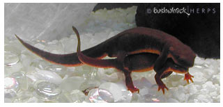 Captive rough-skinned newts in amplexus