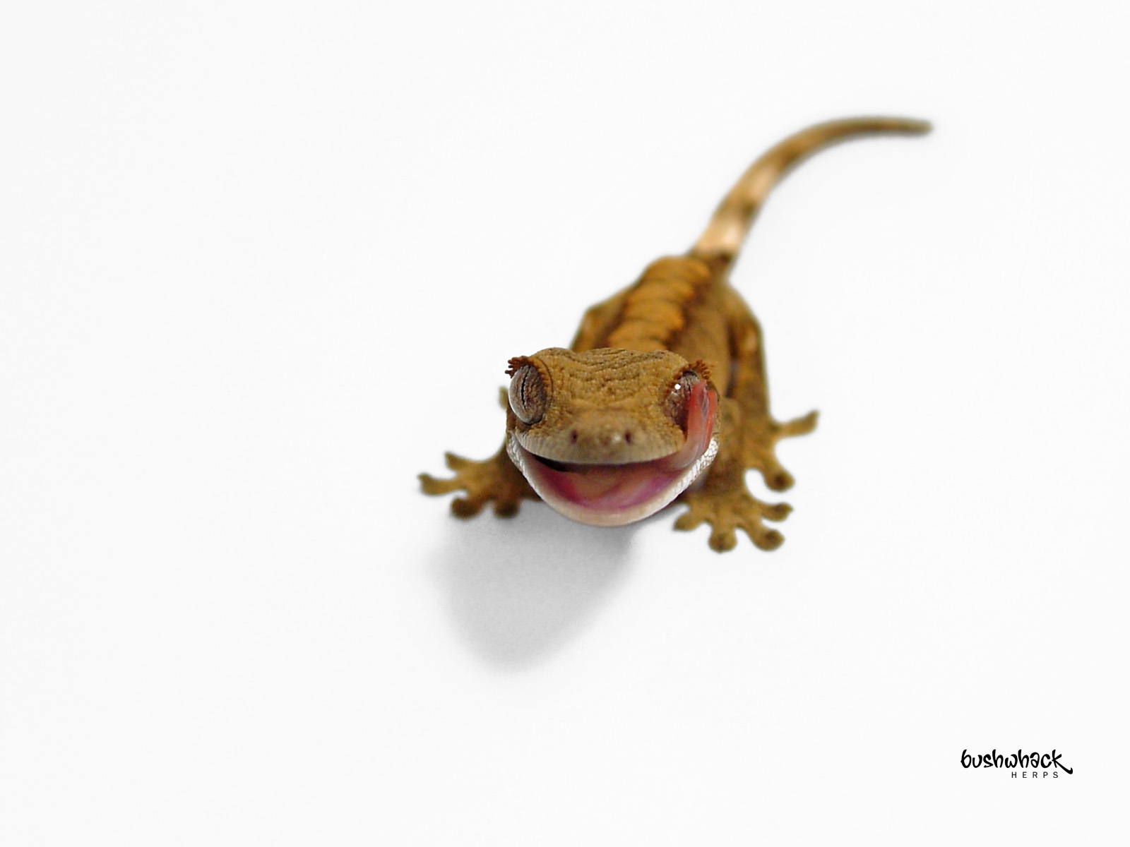 Crested Gecko Coloring Page Media Downloads